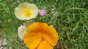 Blumenwiese anlegen – Tipps zur Aussaat