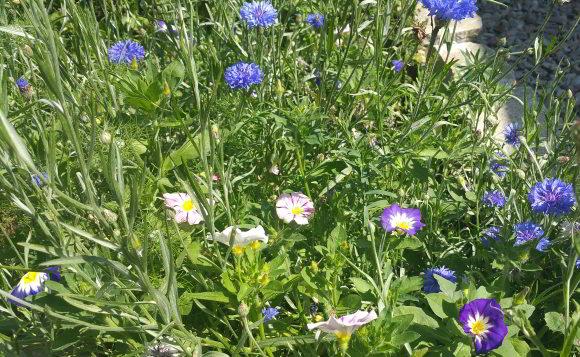Blumenwiese anlegen - Samen aussäen