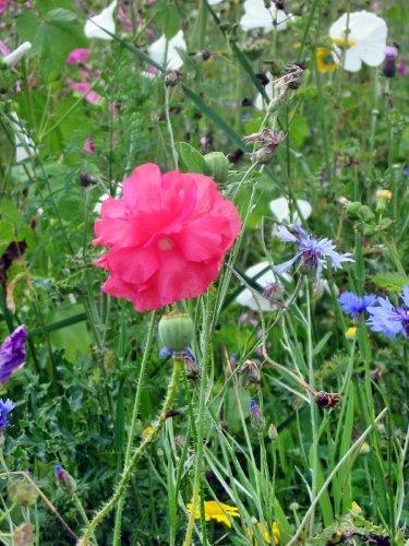 Gemeinsame Blumenwiesen Samen für mehr Abwechslung in Ihrem Garten #UO_15