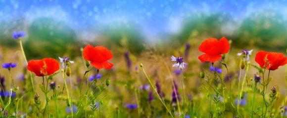 Blumenwiese-Samen