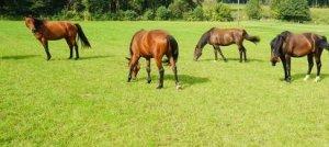 Grassamen für Pferdeweide