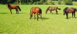 Rasen-Saatgut für Pferdeweide